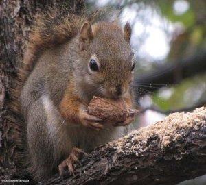 Squirrel with a walnut. Source: http://www.pbase.com/fwg/fwg_blog_october_2009